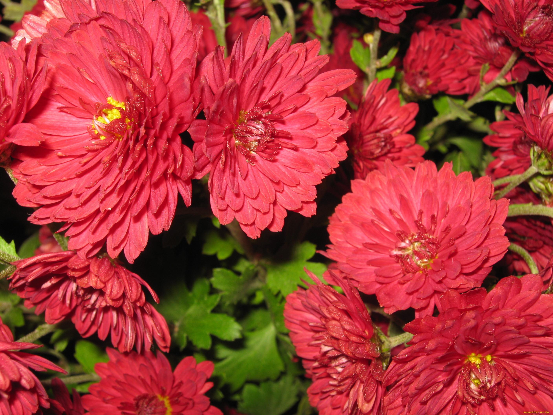 Бывают ли красные хризантемы фото
